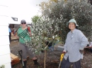 Moving a Feijoa to make way for vege beds. Blitz #13